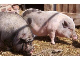 科学饲养种公猪,合理利用才能为猪场创造效益!