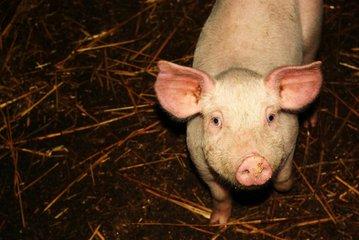 猪场里面有些猪鼻子歪了,养猪人知道怎么解决吗?