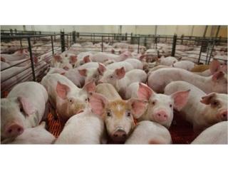 <b>猪场里面哺乳小猪整窝死亡,最常见的6种原因</b>