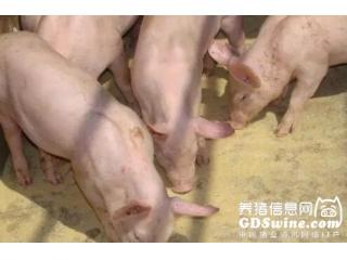 <b>养猪过程中怎么喂养猪才容易长的膘?</b>