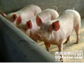 <b>猪顽固性便秘反复无常真闹心!如何诊断科学治疗?</b>