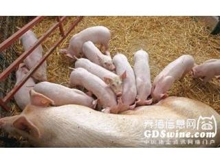 选留优良后备母猪五大技巧,建议收藏!