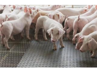 为什么说养猪就是养肠道,如何养好肠道