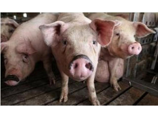大型猪场公布的保育猪饲养标准,你都做到了吗?