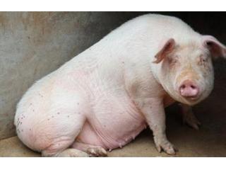 为什么母猪会出现繁殖障碍综合症?该如何预防措施?