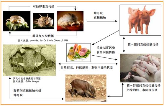非洲猪瘟传播