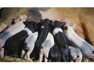 贴秋膘的季节到了,送你养猪促膘四个小窍门!