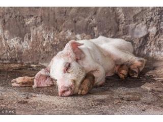 导致猪消瘦的几种疾病的临床症状与诊断方法!