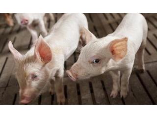 """母猪和小猪的""""五怕"""",很重要,养猪人看看!"""