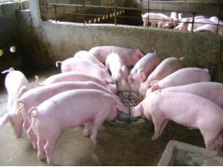生长育肥猪低蛋白日粮的研究进展!降蛋白2%可节约大豆1660万吨