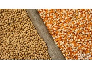 """它变""""黄金豆""""!农民:""""就算没补贴,也愿意种。"""""""