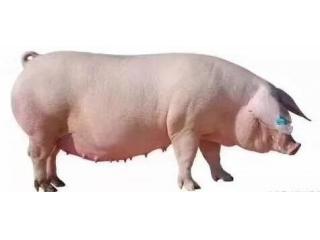 培育后备母猪的四大要素,养猪人你做到了没?