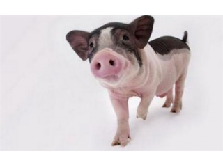 养猪要知道的经典语录,能挽救你养猪场损失!