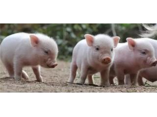 <b>小猪不老实,到处拉尿,教你5个办法解决</b>