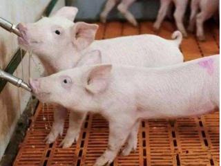 冬季饮用水温度对养猪重要作用,尤其温水可以减少腹泻