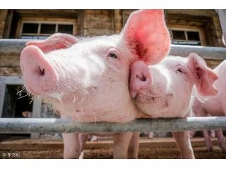 这7点猪场常见防疫误区,养猪户一定要重点避开!