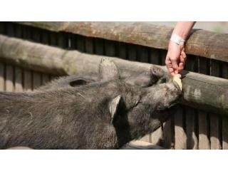 冬季降温,养殖户怎样喂猪才能获得更佳的效果?