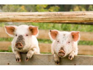 猪的繁殖与种猪的饲养管理技术