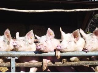 韩国养猪场杀猪仔残忍视频流出,引发动物保护组织强烈抗议