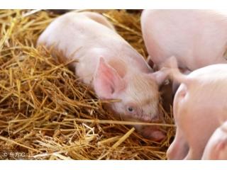 如何防止仔猪不发生白痢呢?