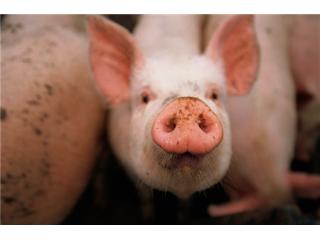 饲养育肥猪的错误饲养行为