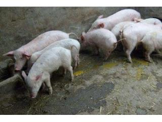 仔猪冬季腹泻,实用招数教给你