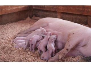 母猪怀孕40天内,这几件事千万不能做!