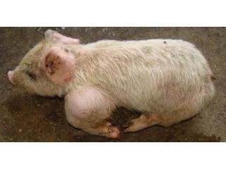猪群咳喘怎么办?几招预防与治疗赶紧收藏