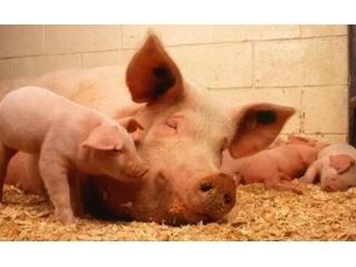 母猪产前不吃?身体机能调理是关键