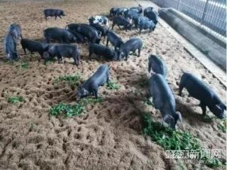 <b>养猪零抗生素、氨基酸含量丰富!黑龙江这项技术获国家科技进步奖</b>