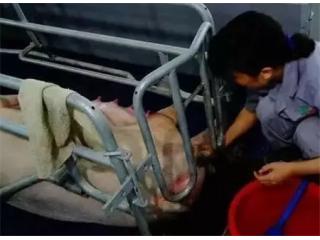 母猪助产?如何正确操作帮助母猪保护仔猪
