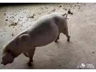 不能小瞧猪场的猪胀气,也许下一秒就发生死亡!