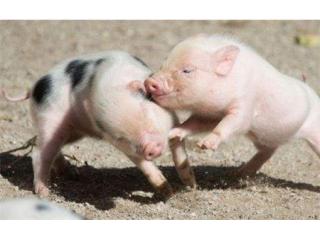 提高母猪繁殖力,请一定把握这6点!