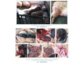 广东首例非洲猪瘟疫情的诊断、处置过程以及疫点消毒效果评价