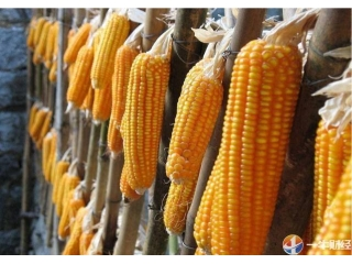 <b>5年半最大购买!刚刚,中国进口30万吨美国玉米!释放什么信号?</b>