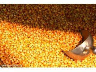 玉米迎来强势大幅拉升 期价创年内新高