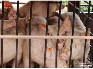 【提醒】47届博览会拍卖底价调至1000元,购买种猪需预先备案运猪车!