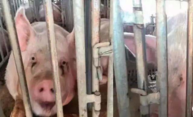 <b>韩国政府定于6月7日以前对防控区所有养猪场完成血清学检测排查</b>