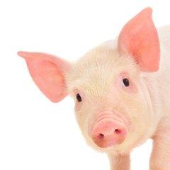<b>猪的扩大潜能干细胞首次问世</b>