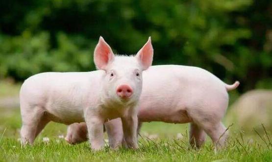 <b>广东大湾区科创力 养猪也要大数据</b>