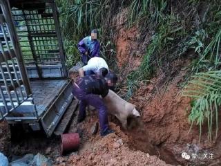 <b>广西藤县两人私自装35头生猪,经过蒙山被拦截 </b>