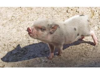 <b>永顺检测|阳性率26.4%,猪场伪狂犬病野毒感染情况仍较普遍</b>