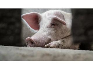 <b>永顺检测|猪瘟抗体样品阳性率为90.7%</b>