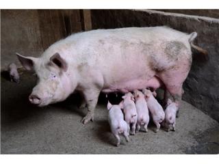 夏季如何保证种猪的配种成功率?这些措施要做好