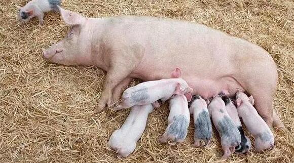 母猪奶水不足,隐藏这三大危害