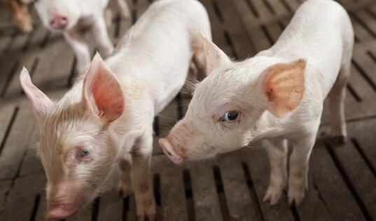 江西省今年确保生猪净调出量达1000万头以上