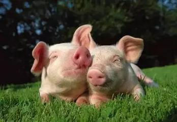 两部门:种猪场和规模猪场流动资金贷款贴息政策延长至2020年底,生猪保险保额最高提升至1500元