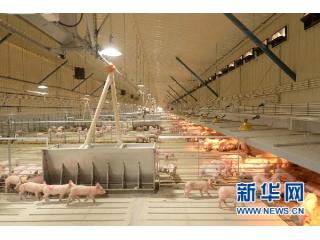 """<b>甘肃白银掀起""""养猪竞赛"""",生猪产业持续发展</b>"""