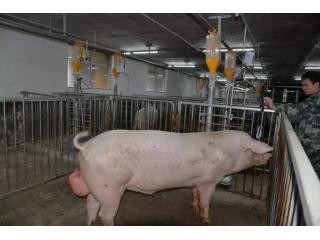 """<b>这样的""""豪华单间"""",每头公猪都想拥有!</b>"""