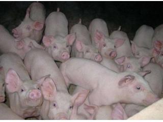秋季常见的猪病及其防控策略